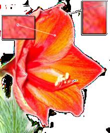 Bildbearbeitung einer Amaryllis